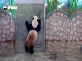 《熊猫冷笑话》第187期:迎迎的思考