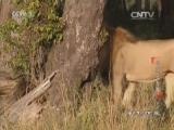 《动物世界》 20160521 与狮子为邻(下)