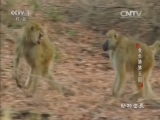 《动物世界》 20160709 金色狒狒王国