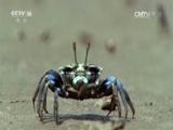 [动物好伙伴]精灵解锁—招潮蟹