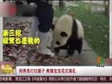 饲养员打扫屋子 熊猫宝宝花式捣乱