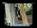 《特别节目》大熊猫可爱视频引爆网络 萌翻观众
