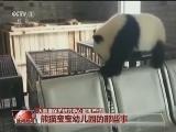 [视频]大熊猫保护研究中心密集产仔