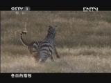 《魅力纪录》 20120424 生命 第七集 猎人与猎物
