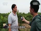 香椿产业助力惠农增收[聚焦三农视频]