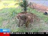 """[朝闻天下]云南广南 """"宠物""""不普通 放归回山林"""