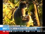 [朝闻天下]云南德宏 发现罕见极大种群菲氏叶猴