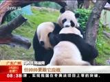[朝闻天下]广东广州 大熊猫三胞胎欢喜过春节