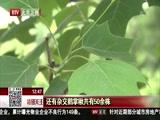 [特别关注-北京]北京植物园鹅掌楸绽放 精致淡雅惹人怜