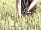 [河北新闻联播]河北:大面积推广节水抗旱小麦新品种 推进农业绿色发展