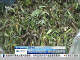 端午养生:清香艾草有妙用 传统民俗讲养生