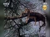《自然传奇》 20180707 非洲战神
