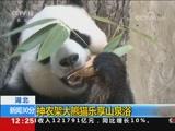 [新闻30分]湖北 神农架大熊猫乐享山泉浴