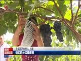 [贵州新闻联播]七星关区葡萄成熟上市 带动贫困户增收