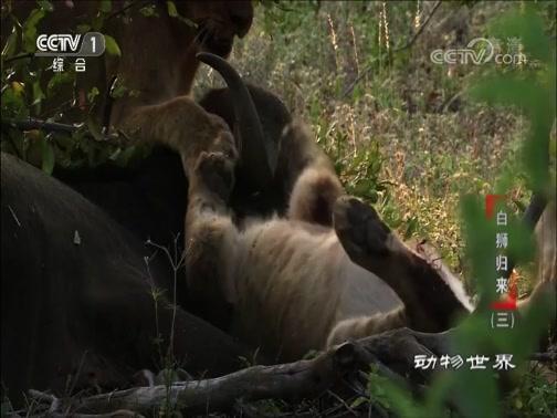 《动物世界》 20180928 白狮归来(三)