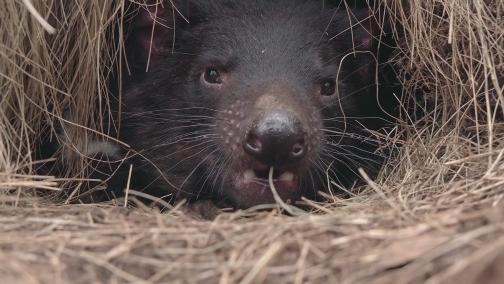[自然传奇]凶猛的袋獾预告