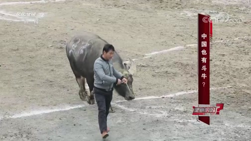 中国也有斗牛 是真的吗 2019.02.16 - 中央电视台 00:07:33