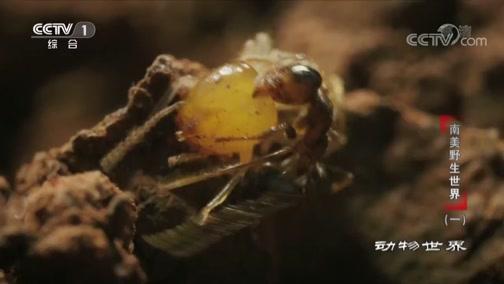 [动物世界]白蚁遭到蚂蚁攻击 战况惨烈 伤亡重大