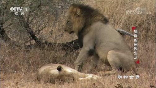 """[动物世界]雄狮交配 却被雌狮狠狠""""嫌弃"""""""