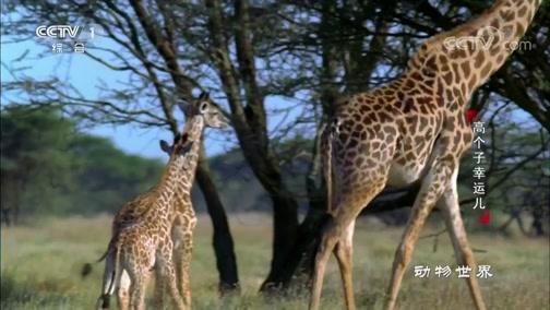 [动物世界]身高优势让长颈鹿妈妈如同瞭望塔 为宝宝保驾护航