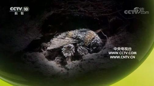 《自然传奇》 20190613 探秘大黄蜂