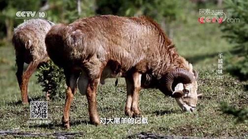 """[探索发现]来自准噶尔盆地的""""福海大尾羊"""""""