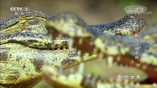 [动物世界]吃完早餐晒个太阳 鳄鱼悠闲度日