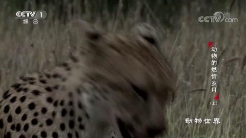 [动物世界]猎豹捕杀黑斑羚 快如闪电