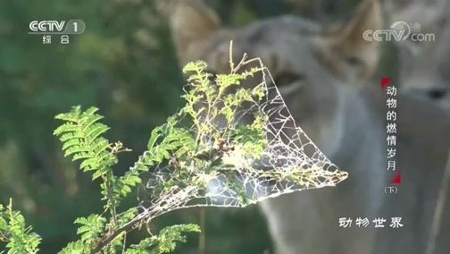 [动物世界]机智的雌狮悄然接近猎物 伺机而动