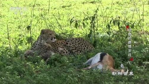 [动物世界]爱惜幼崽 猎豹妈妈为孩子捕猎