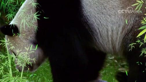 《动物好伙伴》第三季精彩看点:大熊猫