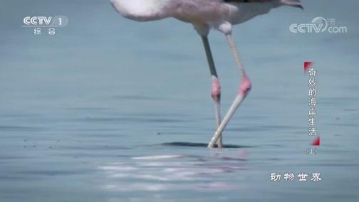 [动物世界]火烈鸟律动的双腿在沙砾间欢快奔走