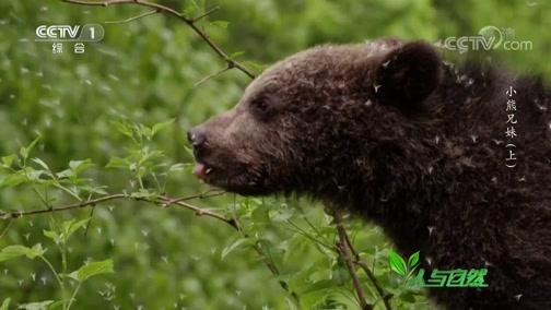 《人与自然》 20200118 小熊兄妹(上)