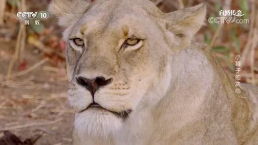 《自然传奇》 20200204 小狮子的决心