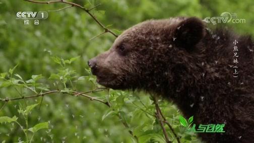 《人与自然》 20200307 小熊兄妹(上)