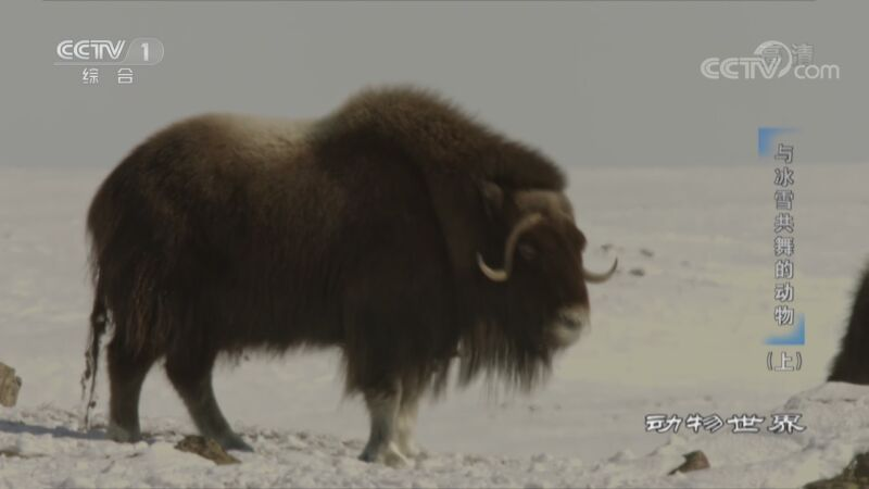 《动物世界》 20200905 与冰雪共舞的动物(上)