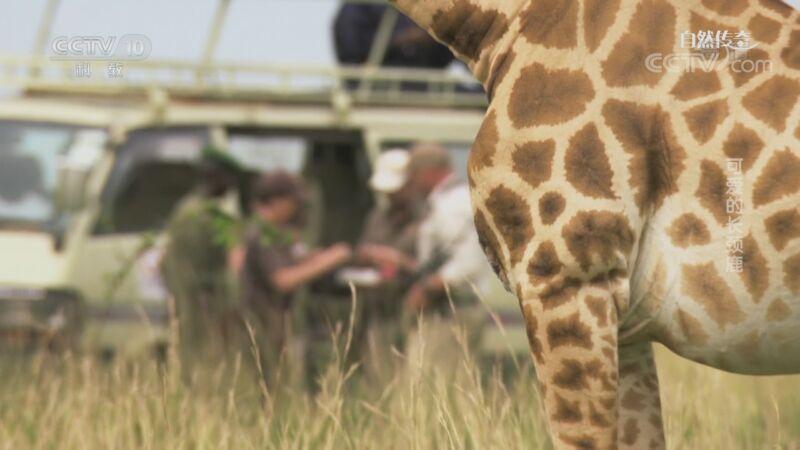 《自然传奇》 20200910 可爱的长颈鹿