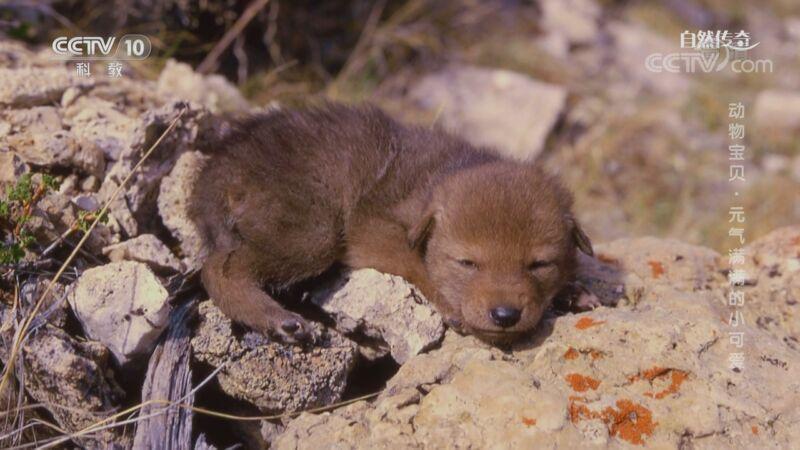 《自然传奇》 20201007 动物宝贝·元气满满的小可爱
