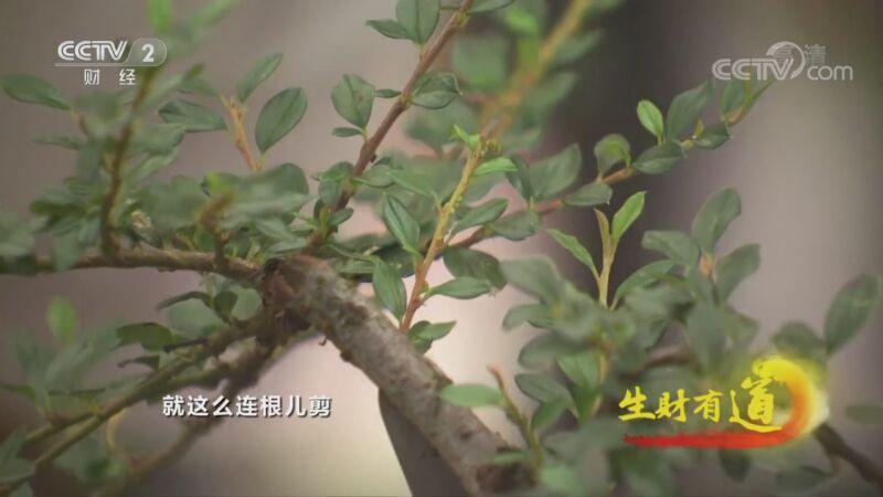 《生财有道》 20201109 贵州遵义:小镇有好味 盆中有风景