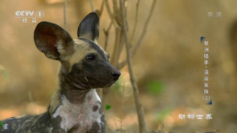《动物世界》 20210115 非洲猎手·温泉家族(上)