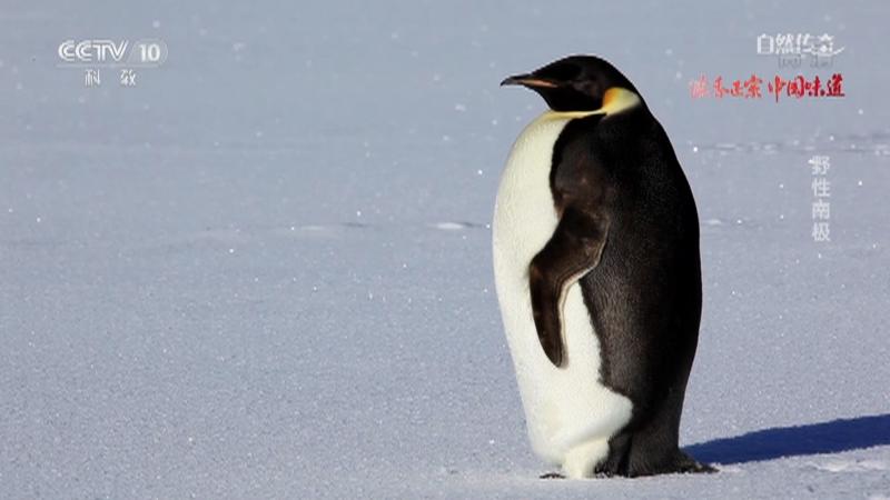 《自然传奇》 20210124 野性南极