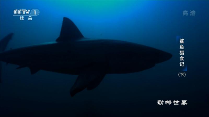 《动物世界》 20210207 鲨鱼猎食记(下)