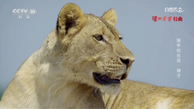 《自然传奇》 20210403 猎手的生活·狮子