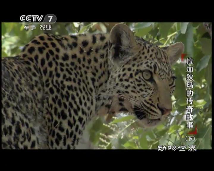 《动物世界》 20120515 拉加狄码的传奇故事(下)