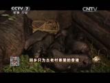 杨智养猪致富经,回乡只为古老村寨里的香猪
