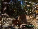 更上一层楼 幼虎继续学习捕猎