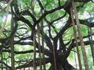 <b>&Aacute;rbol sagrado de Yangshuo </b>