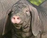 梅山猪,母猪爱散步,公猪爱跑步