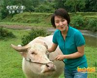 稀罕的白水牛
