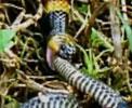 蛇吃蛇的可怕场面